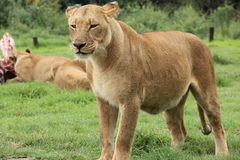 Agitated Lioness Royalty Free Stock Photos