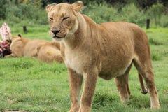 Agitated Lioness. Next to kill Royalty Free Stock Photos