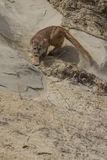 Agitated mountain lion stalking on ledge Stock Photo