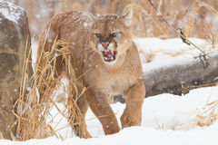 Agitated mountain lion. During wintertime Stock Photos