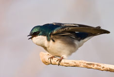 Agitated Tree Swallow. Tree Swallow (Tachycineta Bicolor) ruffling its feathers agitated at other birds flying by Royalty Free Stock Image