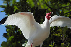 Agitated white ibis in tree, Gulf Coast of Florida. Royalty Free Stock Photos