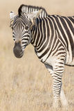 Agitated zebra with ears back. Agitated zebra with ears pushed back Stock Photography