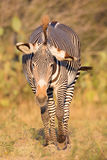 Agitated zebra in portrait. With ears back Royalty Free Stock Photo