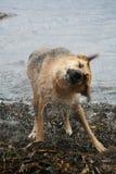 Agitazione del cane Fotografia Stock