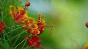 Agitazione del fiore della cresta del pavone archivi video