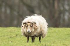 Agitazione delle pecore della lanugine immagini stock libere da diritti
