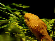 agkistrodon contortrix copperhead Zdjęcia Royalty Free