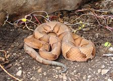 agkistrodon contortrix copperhead Osage wąż Obraz Stock