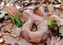 agkistrodon contortrix copperhead Osage wąż Obraz Royalty Free