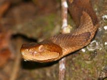 agkistrodon contortrix copperhead wąż Obrazy Royalty Free
