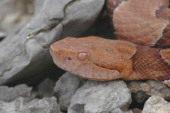Agkistrodon contortrix phaeogaster stockfotos