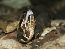 agkistrodon cottonmouth piscivorus Zdjęcie Royalty Free