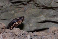 Agkistrodon piscivorus leucostoma Zdjęcia Royalty Free