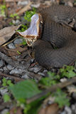 Agkistrodon piscivorus leucostoma Fotografia Stock