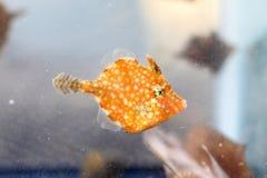 żagla Filefish Zdjęcie Stock