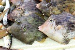żagla Filefish Zdjęcia Royalty Free