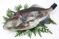 żagla Filefish Obraz Royalty Free