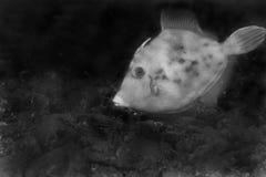 żagla filefish cirrhifer Fotografia Royalty Free