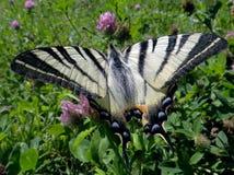 Żagla swallowtail Obraz Stock