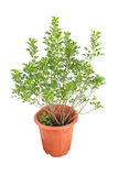 Aglaia odorata plant Royalty Free Stock Photo