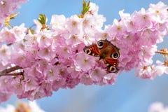 Aglais E/S de papillon de paon rassemblant le pollen de nectar des fleurs de cerisier roses blanches en premier ressort photographie stock libre de droits