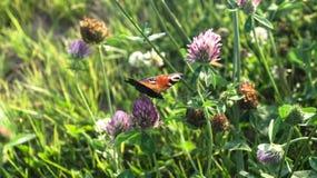 Aglais E/S, le papillon de paon européen, sur la fleur de trèfle Image stock