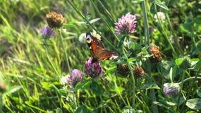 Aglais E/S, le papillon de paon européen, sur la fleur de trèfle Images libres de droits