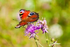 Aglais E/S ou papillon coloré de paon européen se reposant sur la fleur de floraison violette Ce papillon vibrant trouvé en Europ image libre de droits