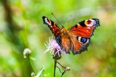 Aglais E/S ou papillon coloré de paon européen se reposant sur la fleur de floraison violette Ce papillon vibrant trouvé en Europ photo stock