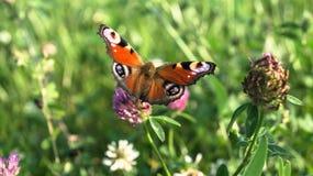 Aglais io,欧洲孔雀铗蝶,在三叶草花 免版税库存照片