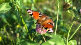 Aglais io,欧洲孔雀铗蝶,在三叶草花 免版税库存图片