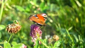 Aglais io,欧洲孔雀铗蝶,在三叶草花 免版税图库摄影