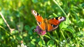 Aglais io,欧洲孔雀铗蝶,在三叶草花 图库摄影