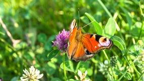Aglais io,欧洲孔雀铗蝶,在三叶草花 库存图片