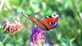 Aglais io,欧洲孔雀铗蝶,在三叶草花 库存照片