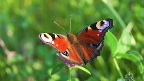 Aglais io,欧洲孔雀铗蝶,在三叶草花 股票录像