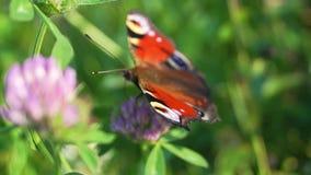 Aglais io,欧洲孔雀铗蝶,在三叶草花 股票视频