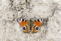 Aglais io (欧洲孔雀,孔雀铗蝶) 库存图片