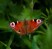 Aglais io. Beautiful butterfly which I found on the edge of meadows Stock Image