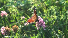 Aglais io, a borboleta de pavão europeia, na flor do trevo Fotos de Stock