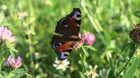 Aglais io, a borboleta de pavão europeia, na flor do trevo Imagem de Stock Royalty Free