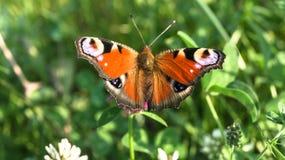 Aglais io, a borboleta de pavão europeia, na flor do trevo Fotografia de Stock Royalty Free
