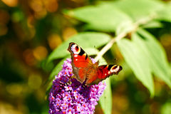 Aglais io butterly Zdjęcia Royalty Free