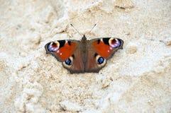 Aglais io conosciuto come la farfalla di pavone Immagini Stock
