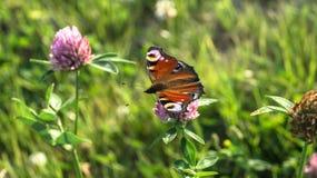 Aglais io, den europeiska påfågelfjärilen, på växt av släktet Trifoliumblomman Royaltyfria Foton