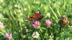 Aglais io, den europeiska påfågelfjärilen, på växt av släktet Trifoliumblomman Royaltyfria Bilder