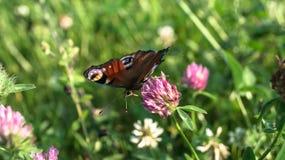 Aglais io, den europeiska påfågelfjärilen, på växt av släktet Trifoliumblomman Fotografering för Bildbyråer