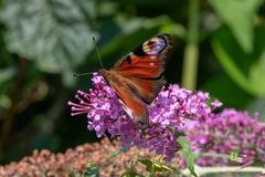 Aglais io , European peacock butterfly on flower.  Stock Photography