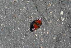 Aglais io European peacock, peacock butterfly sitting with wide open wings on asphalt ground. Aglais io European peacock, peacock butterfly sitting with wide stock photo